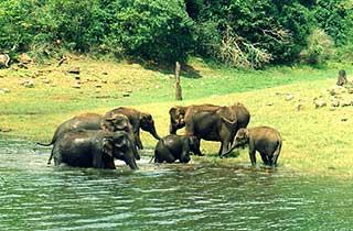 thekkady_elephants