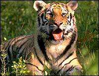 tiger-palakkad